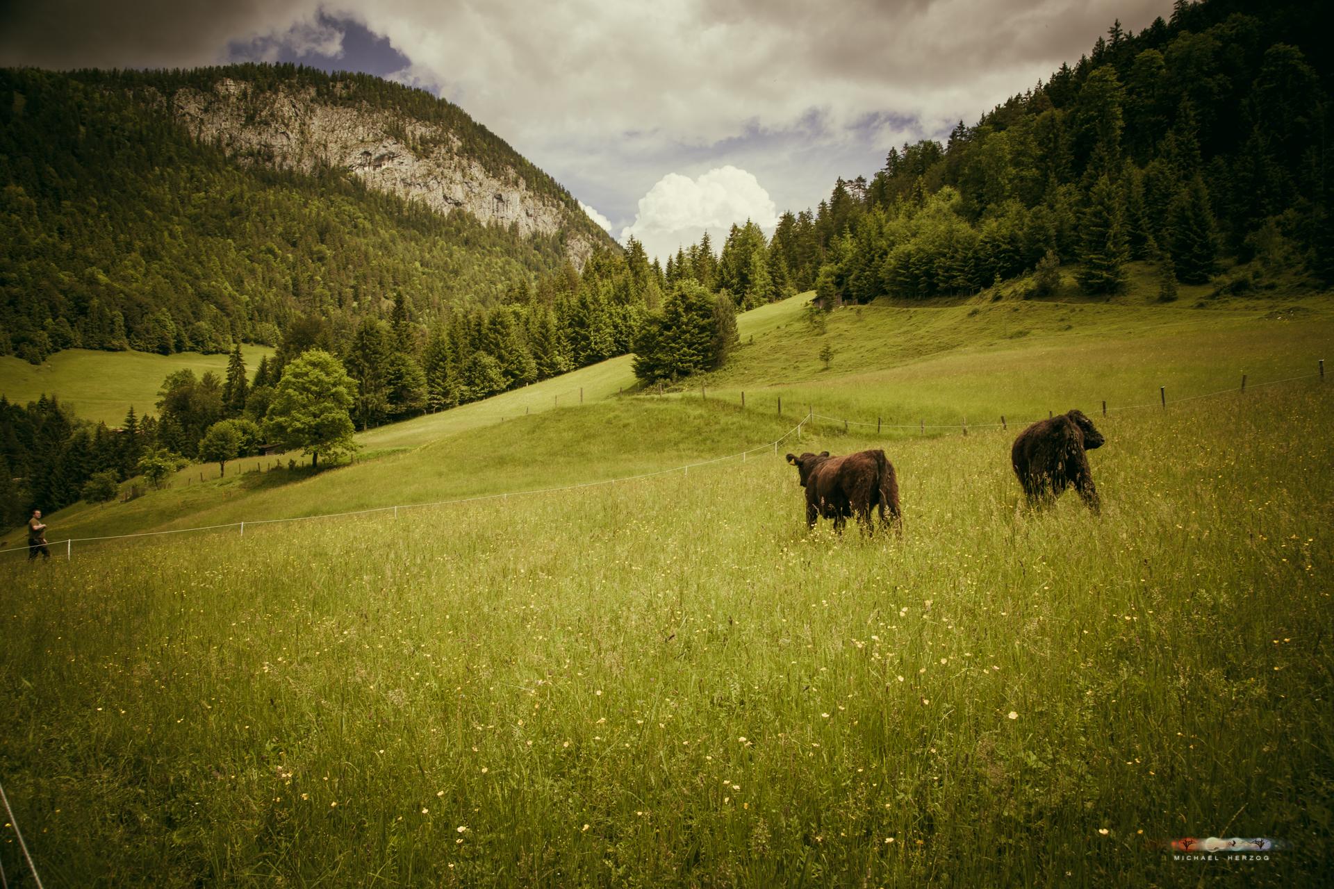Unken-Kühe-Einzug-2016_MichaelHerzog-0161.jpg