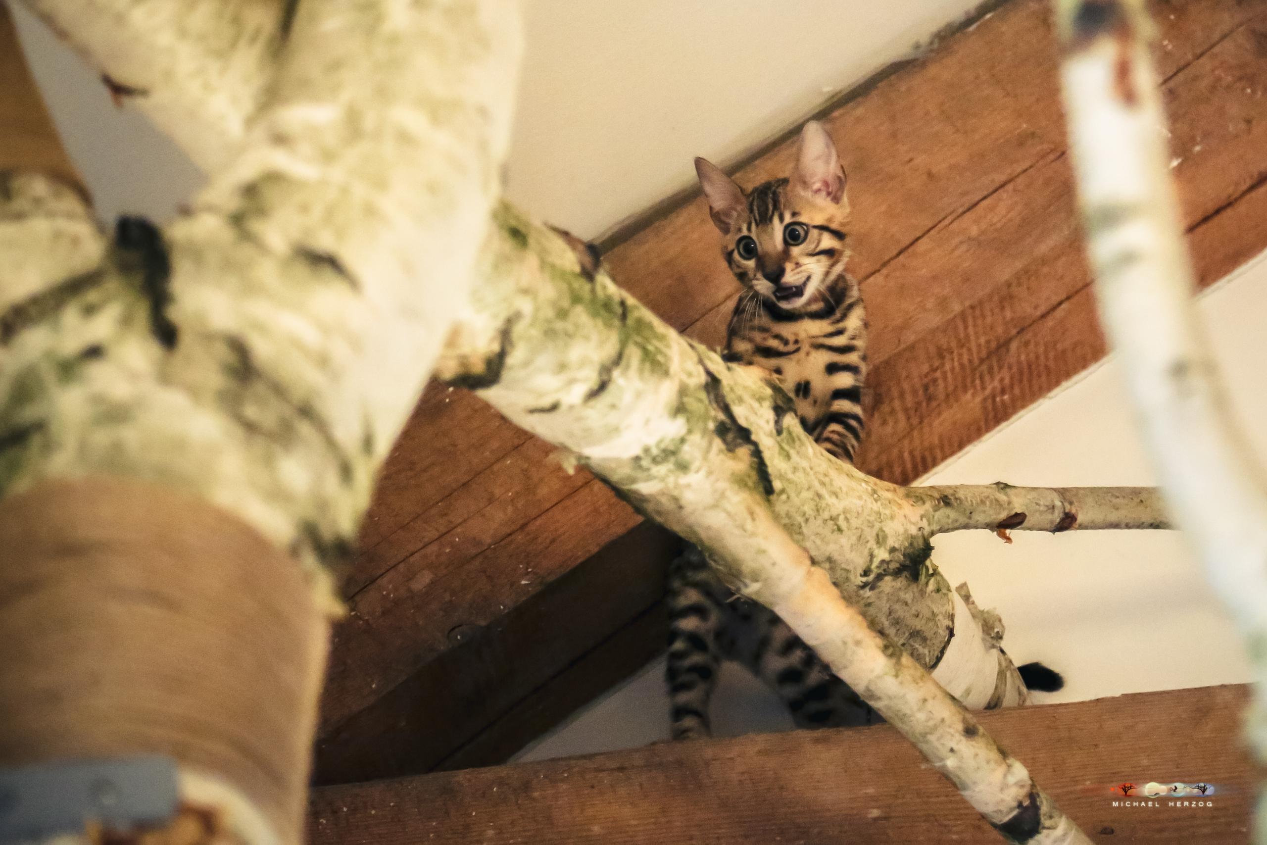 Bengalcat_kitten_indoor_tree_AUTrenalinMEDIA-6544-2.jpg
